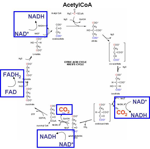 Anaerobic Metabolism: Metabolism Overview