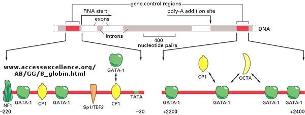 Central dogma of biology control of globin gene transcription malvernweather Choice Image