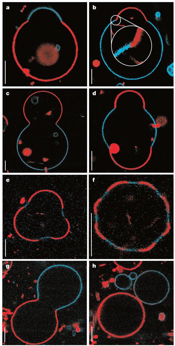 Dynamics of Membrane Lipids GUVFig1Nat