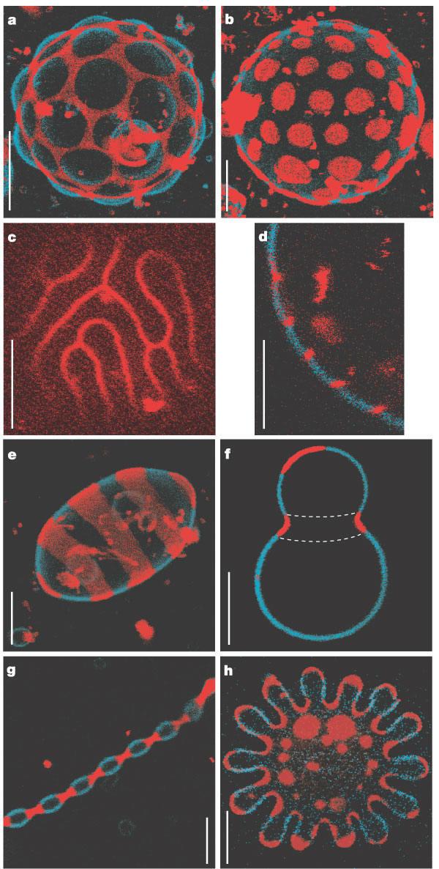 Dynamics of Membrane Lipids GUVFig2Nat