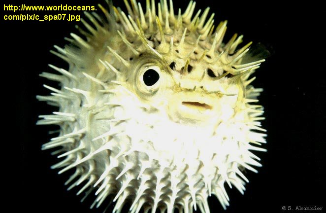 Bc online 9b neurochemistry for Figure 8 puffer fish
