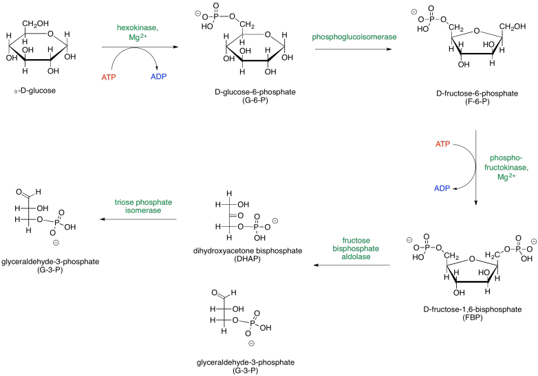 Phase One Of Glycolysis Leads To The Scission Of A Six Carbon Sugar Into Two Three Carbon Sugars