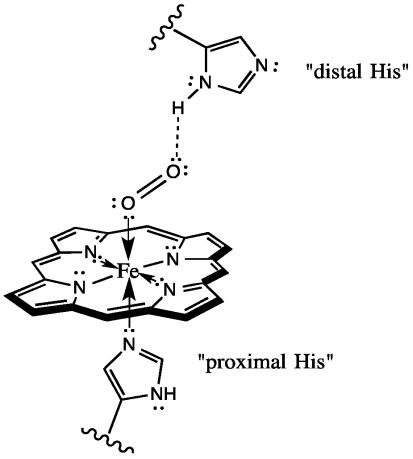 Each Heme Ring In Hemoglobin Encloses An Atom Of