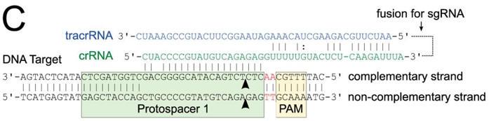 CRISPR_FIG1C