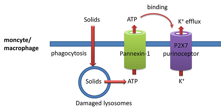 Pannexin1_P2X7_Kionefflux