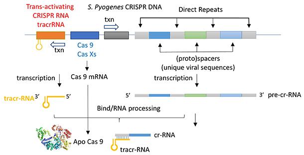 CRISPR operon and transcipts