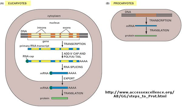 Add your page title figure central dogma differences in eukaryotes and prokaryotes ccuart Gallery