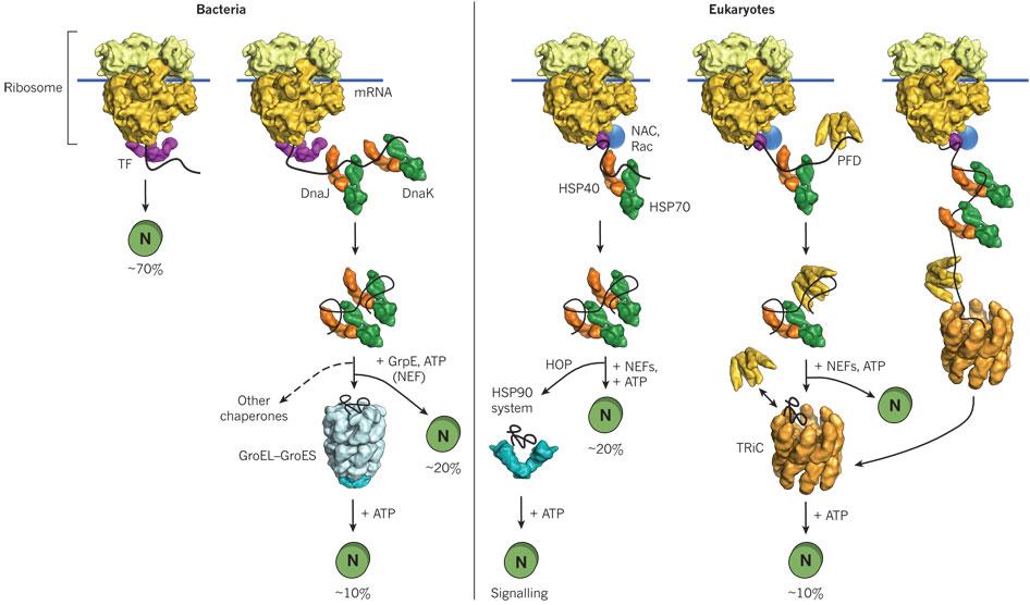Cytosolic Chaperones