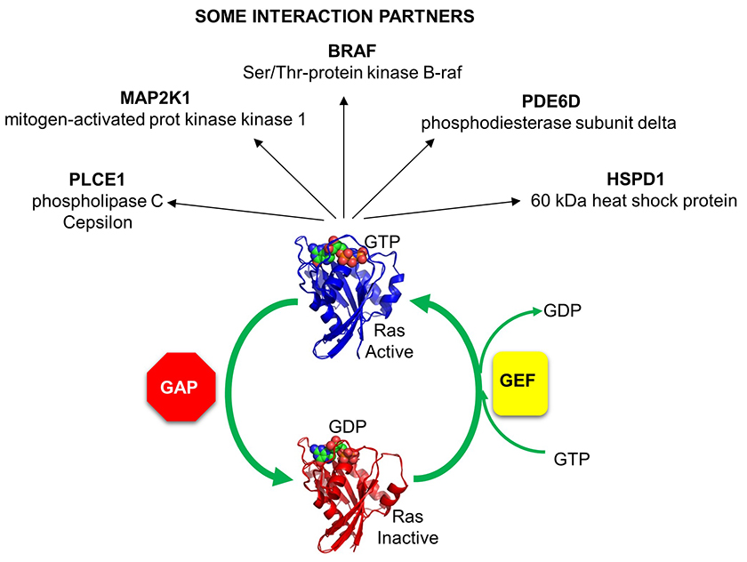 RAS_GAP_GEF_EFFECTORS